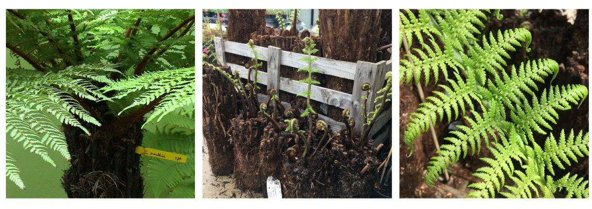 Tree Ferns now coming June 21